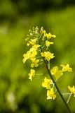 Oilseed rape. Flower isolated with a green background, Shallow dof Stock Images