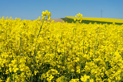 Oilseed Rape Royalty Free Stock Images