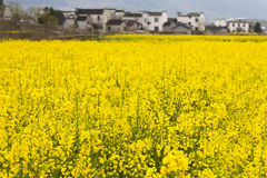 Oilseed blooming Stock Photography