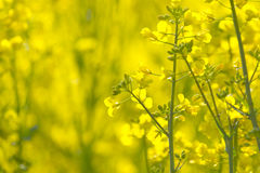 OilSeed Rape Blooming Stock Photography