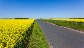Oilseed rape blossoms Royalty Free Stock Photos