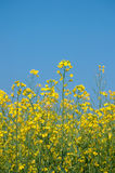 Oilseed rape and blue sky Stock Images