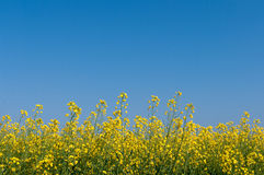 Oilseed rape and blue sky Royalty Free Stock Images