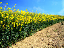 Oilseed rape (canola). Ready for harvest in the English, countryside Stock Photo