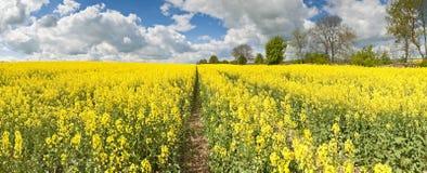 Oilseed Rape, Canola, Biodiesel Crop Royalty Free Stock Image