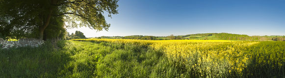 Oilseed Rape, Canola, Biodiesel Crop Royalty Free Stock Photo