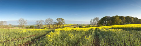 Oilseed Rape, Canola, Biodiesel Crop Royalty Free Stock Images