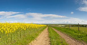 Oilseed Rape, Canola, Biodiesel Crop Royalty Free Stock Photography
