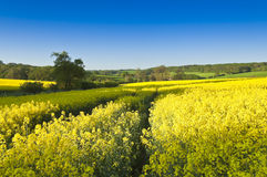 Oilseed Rape, Canola, Biodiesel Crop Stock Photos