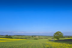 Oilseed Rape, Canola, Biodiesel Crop Royalty Free Stock Photos