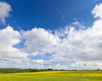 Oilseed Rape, Canola, Biodiesel Crop Stock Images