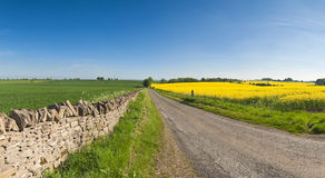 Oilseed Rape, Canola, Biodiesel Crop Stock Image