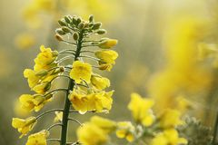 Oilseed rape. Close-up of oilseed rape with morning dew Royalty Free Stock Photography