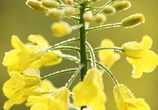 Oilseed rape Stock Image