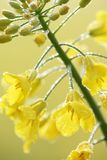 Oilseed rape. Close-up of oilseed rape with morning dew Stock Photos
