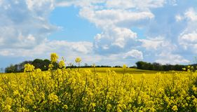 Oilseed rape closeup against blue sky. Rape field with close up of flowers against a big dramatic sky Stock Photography