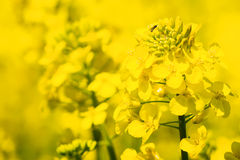 Oilseed rape closeup Royalty Free Stock Photography