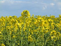 Oilseed Rape Closeup Royalty Free Stock Photos