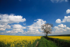 Oilseed Rape crop and blue sky Stock Image
