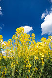 Oilseed Rape crop and blue sky Stock Photo