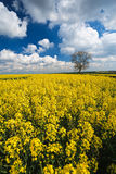Oilseed Rape crop and blue sky Stock Photos