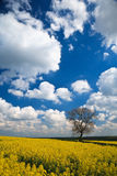Oilseed Rape crop and blue sky Royalty Free Stock Photography