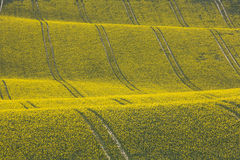Oilseed Rape Crop in Rolling Hills with Tractor Tracks. Rolling hill with yellow oilseed rape crop and tractor tracks in Sussex, England Royalty Free Stock Images
