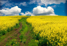 Oilseed rape, field Stock Photo