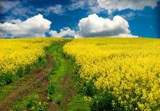 Free Oilseed Rape, Field Stock Photo - 12160550