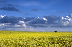 Oilseed rape field. In the late summer Stock Photography