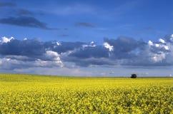 oilseed rape field Stock Photography