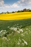 Oilseed Rape Field Stock Photography
