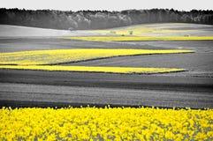Free Oilseed Rape Field Stock Photography - 31822502