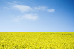 Oilseed Rape field against blue sky Royalty Free Stock Photos