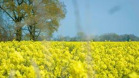 Rapeseed field, Oilseed Rape, April - UK. Oilseed Rape field in April, UK - bright yellow flowers of the Rapeseep crop stock video footage