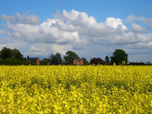 Oilseed Rape Field in Bloom Stock Images
