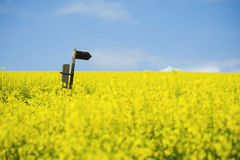 Oilseed Rape field with directional arrow Stock Images