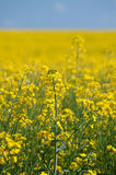 Oilseed rape. Field of oilseed rape with a few flowers in focus and the rest as blurred bokeh Stock Image