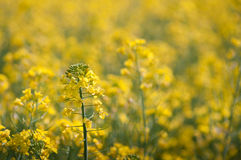 Oilseed rape. Field of oilseed rape with a few flowers in focus and the rest as blurred bokeh Stock Photos