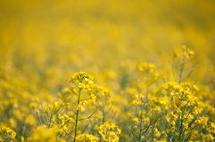 Oilseed rape Royalty Free Stock Photos