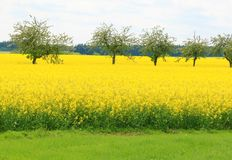 Oilseed rape. Field and flowering alley Stock Image