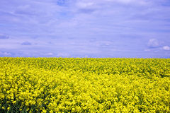 Oilseed Rape Field Royalty Free Stock Image