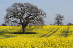 Oilseed rape field in Suffolk, England Stock Photo