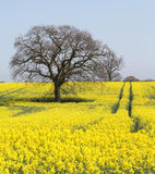 Oilseed rape field in Suffolk, England Stock Photography