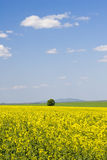 Oilseed rape field during summer with blue sky. Scene Royalty Free Stock Images