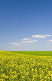 Oilseed rape field during summer with blue sky. Scene Stock Images