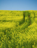 Oilseed Rape field with tractor track Stock Images