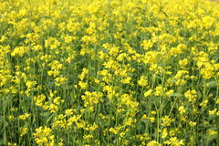 Oilseed rape field. Field of yellow rape filling all frame Royalty Free Stock Photos
