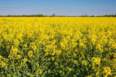 Oilseed rape on the field Royalty Free Stock Photo