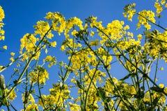 Oilseed rape on the field Royalty Free Stock Image